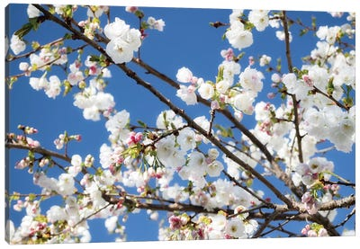 Cherry Blossom IX Canvas Art Print
