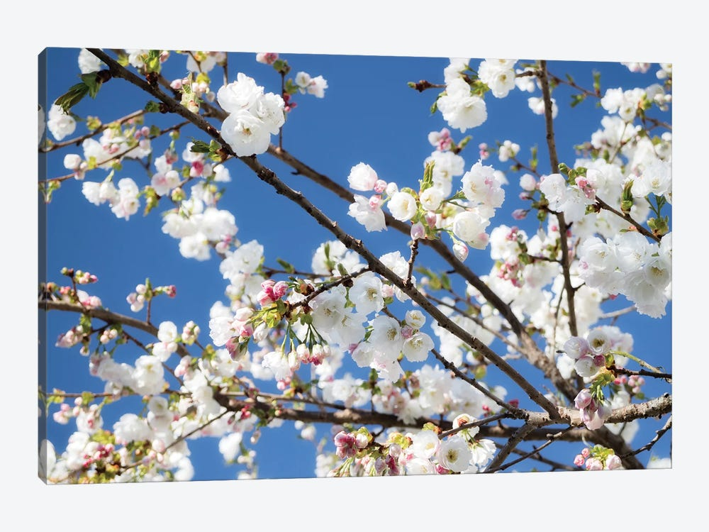 Cherry Blossom IX by David Clapp Photography Limited 1-piece Art Print