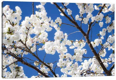 Cherry Blossom XII Canvas Art Print