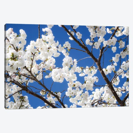 Cherry Blossom XII Canvas Print #DCL16} by David Clapp Photography Limited Canvas Art Print