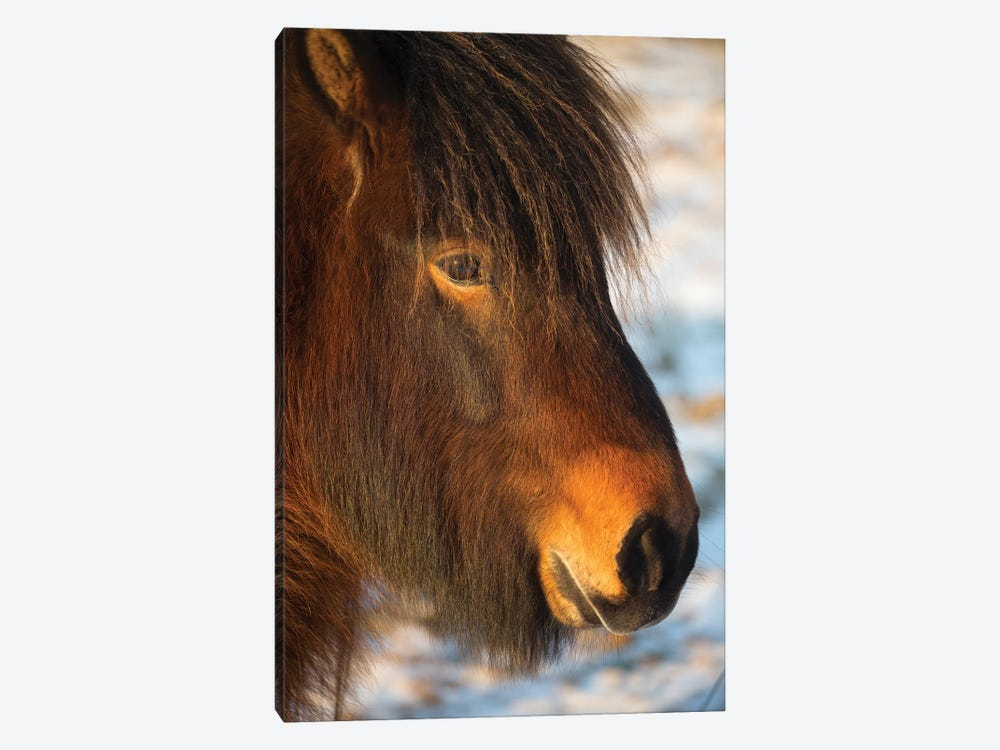 Iceland Horses I by David Clapp Photography Limited 1-piece Canvas Art