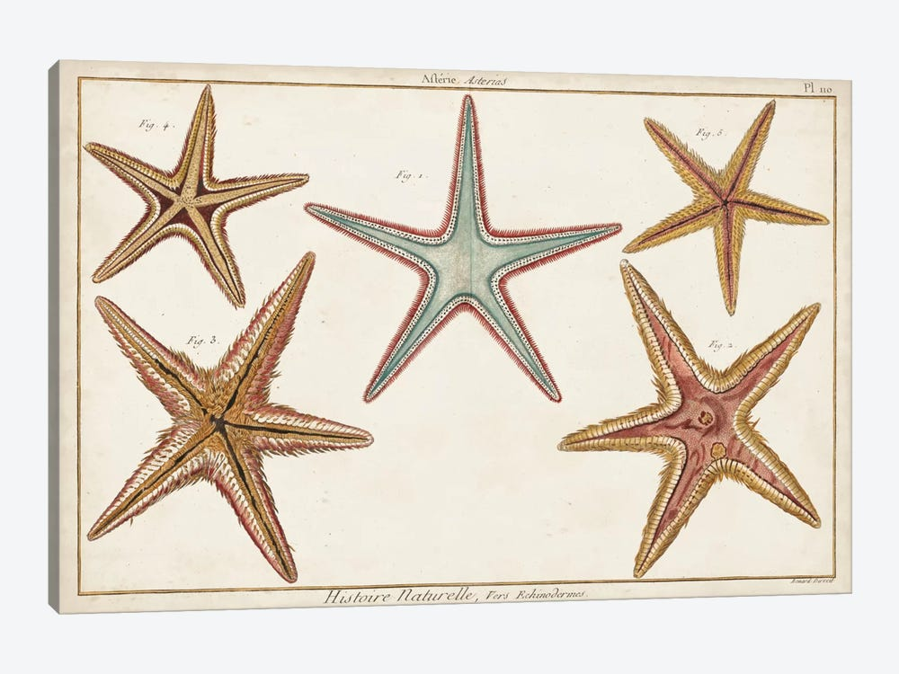 Starfish Naturelle I by Denis Diderot 1-piece Canvas Artwork