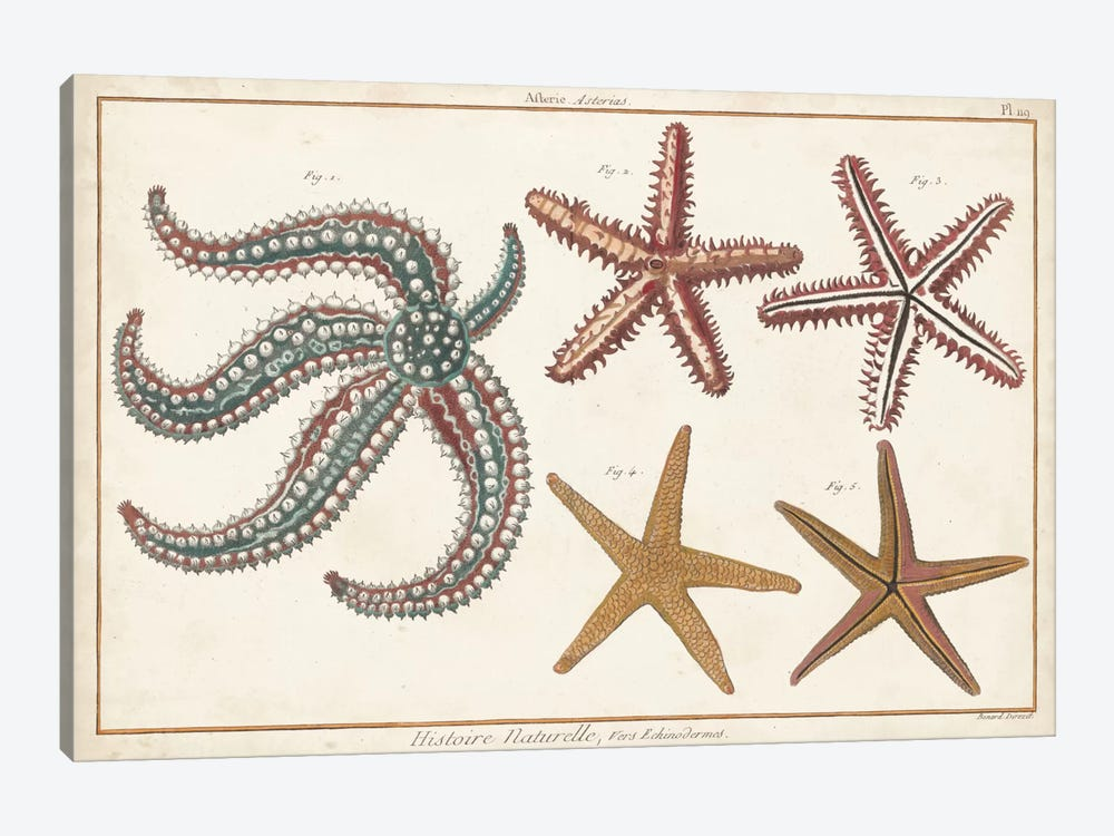 Starfish Naturelle II by Denis Diderot 1-piece Canvas Art Print