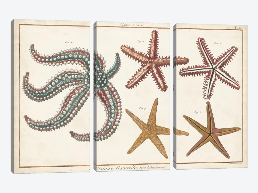 Starfish Naturelle II by Denis Diderot 3-piece Canvas Print