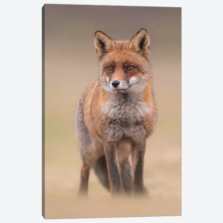 Red Fox In Field I Canvas Print #DDJ10} by Dick van Duijn Art Print