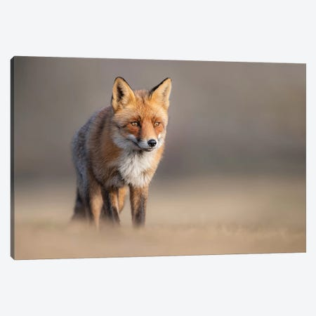 Red Fox In Field II Canvas Print #DDJ11} by Dick van Duijn Canvas Print