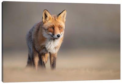 Red Fox In Field II Canvas Art Print
