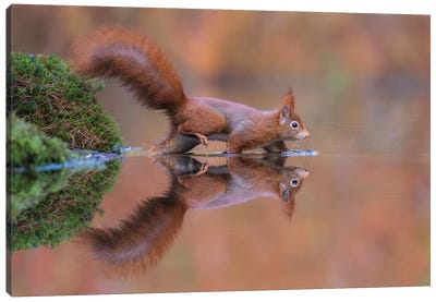 Red Squirrel Running Through The Water Canvas Art Print