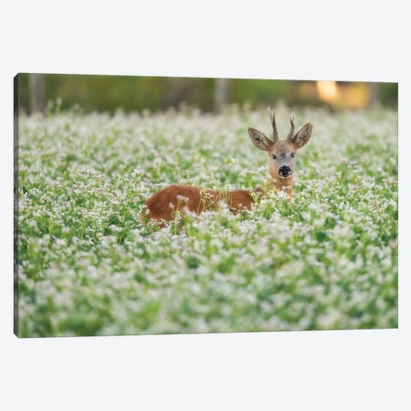 Roebuck In The Buckwheat I Canvas Print #DDJ14} by Dick van Duijn Canvas Artwork