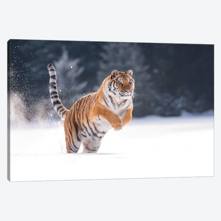Siberian Tiger Running In The Snow I Canvas Print #DDJ17} by Dick van Duijn Canvas Wall Art
