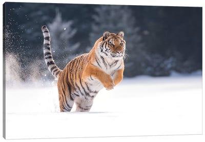 Siberian Tiger Running In The Snow I Canvas Art Print