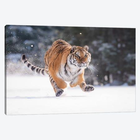Siberian Tiger Running In The Snow II Canvas Print #DDJ18} by Dick van Duijn Canvas Art Print