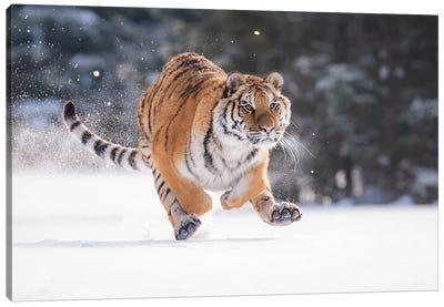 Siberian Tiger Running In The Snow II Canvas Art Print