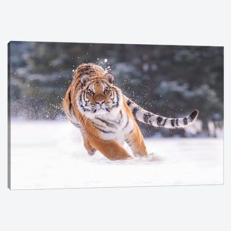 Siberian Tiger Running In The Snow III Canvas Print #DDJ19} by Dick van Duijn Canvas Art Print