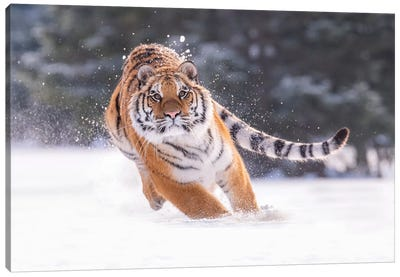 Siberian Tiger Running In The Snow III Canvas Art Print