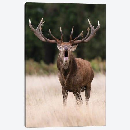 A Bellowing Red Deer Canvas Print #DDJ1} by Dick van Duijn Canvas Wall Art