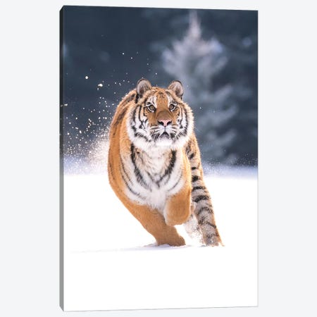 Siberian Tiger Running In The Snow IV Canvas Print #DDJ20} by Dick van Duijn Canvas Wall Art