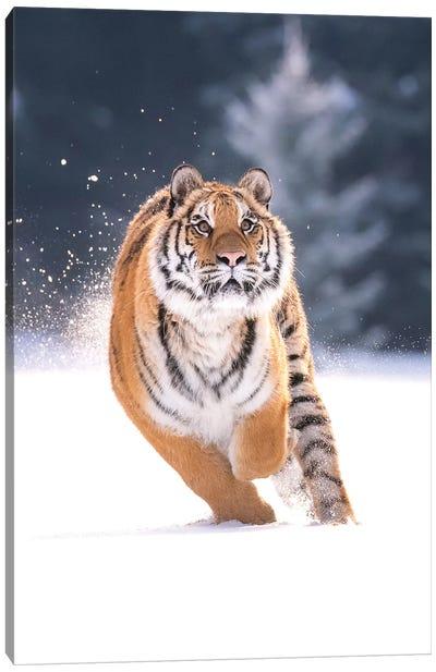 Siberian Tiger Running In The Snow IV Canvas Art Print