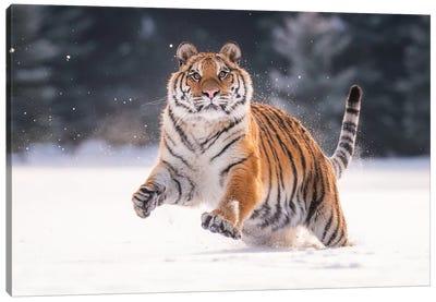 Siberian Tiger Running In The Snow V Canvas Art Print