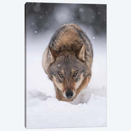 Wolf Hunting In The Snow Canvas Print #DDJ28} by Dick van Duijn Canvas Artwork