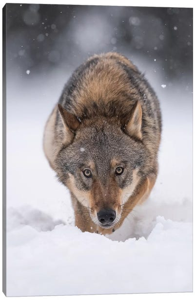 Wolf Hunting In The Snow Canvas Art Print