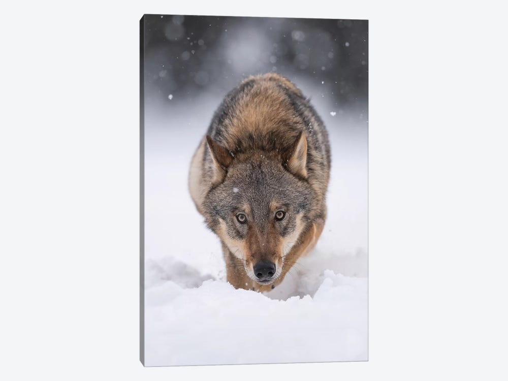 Wolf Hunting In The Snow by Dick van Duijn 1-piece Art Print