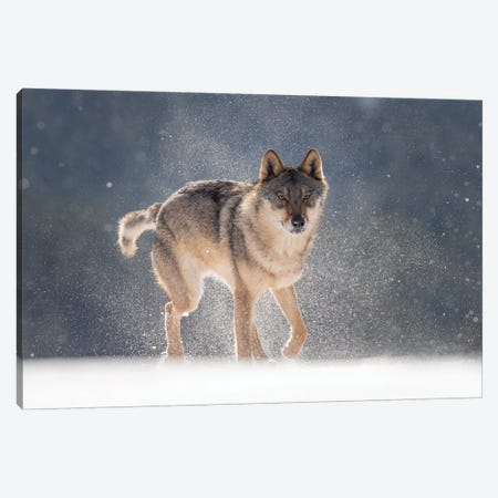 Wolf In Snow I Canvas Print #DDJ29} by Dick van Duijn Canvas Art