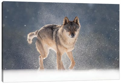 Wolf In Snow I Canvas Art Print