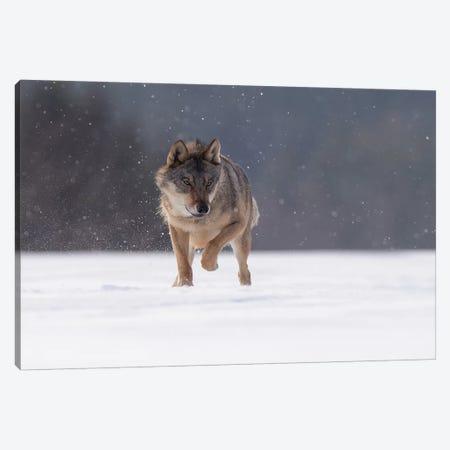 Wolf In Snow II Canvas Print #DDJ30} by Dick van Duijn Art Print
