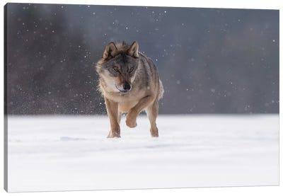 Wolf In Snow II Canvas Art Print