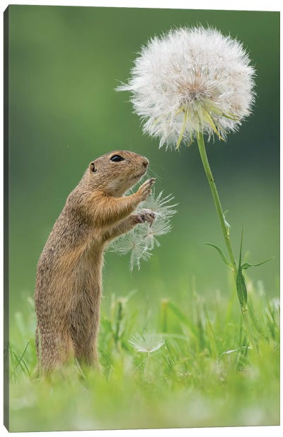 Ziesel With A Very Big Dandelion I Canvas Art Print