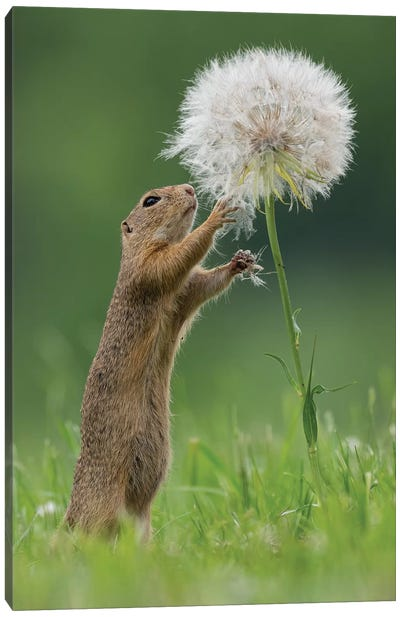 Ziesel With A Very Big Dandelion IV Canvas Art Print