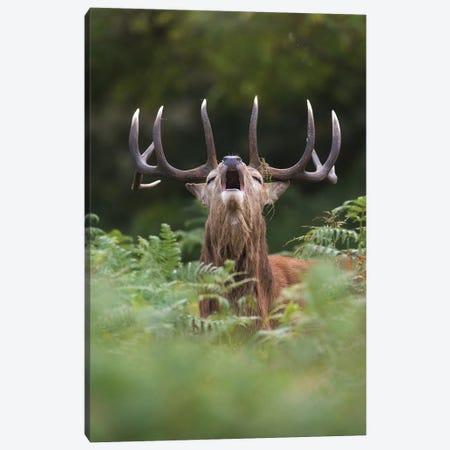 Bellowing Red Deer In The Ferns Canvas Print #DDJ3} by Dick van Duijn Canvas Artwork