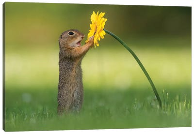 Curious Ground Squirrel Canvas Art Print
