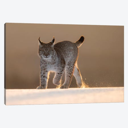 Eurasian Lynx In The Snow At Sunset Canvas Print #DDJ6} by Dick van Duijn Canvas Art Print