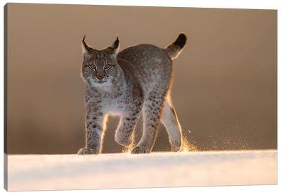 Eurasian Lynx In The Snow At Sunset Canvas Art Print