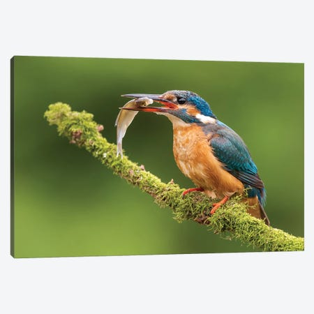 Kingfisher With Catch Canvas Print #DDJ8} by Dick van Duijn Canvas Art