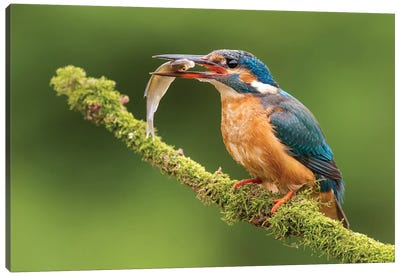 Kingfisher With Catch Canvas Art Print