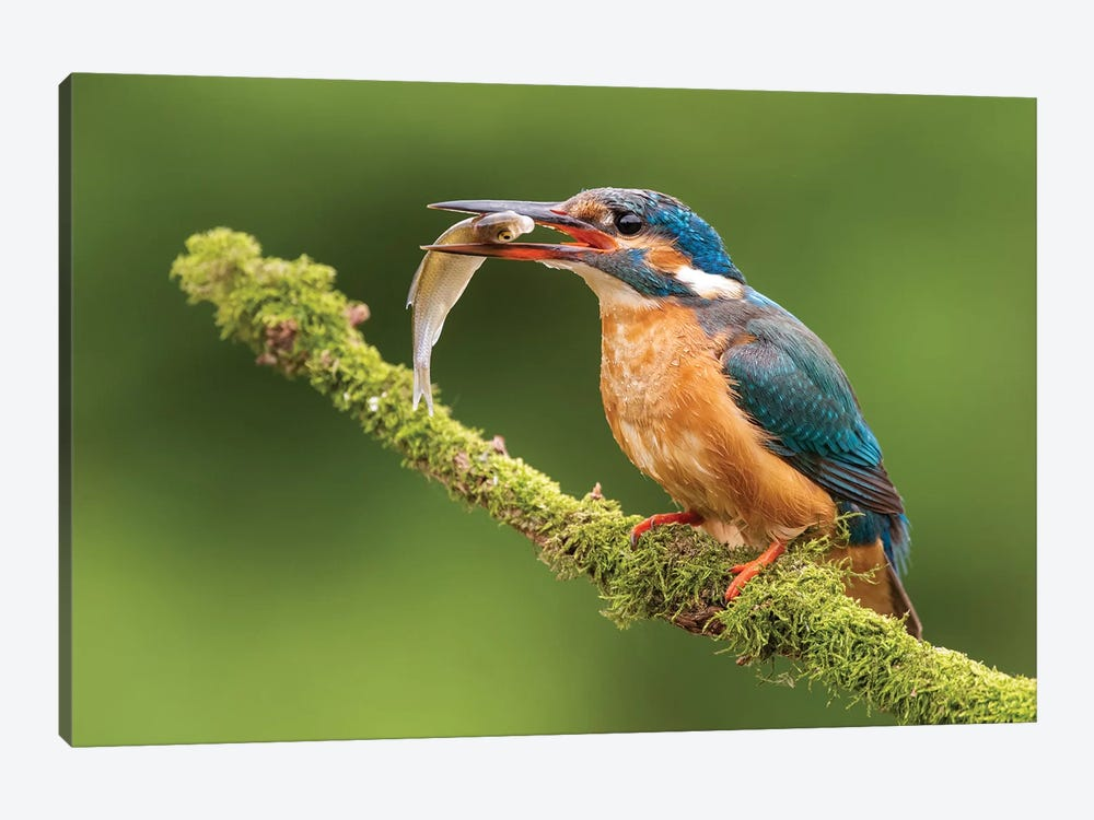 Kingfisher With Catch by Dick van Duijn 1-piece Canvas Wall Art