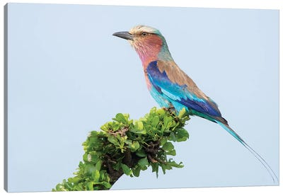 Lilac-Breasted Roller Canvas Art Print