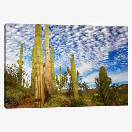 Cacti View III Canvas Print #DDR16} by David Drost Canvas Art