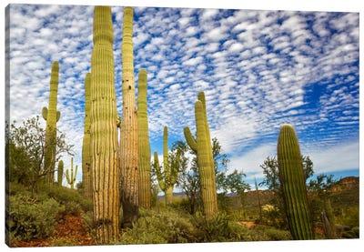 Cacti View III Canvas Art Print