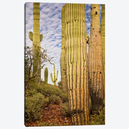 Cacti View IV Canvas Print #DDR17} by David Drost Canvas Art
