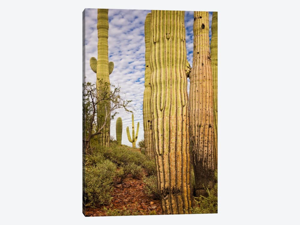 Cacti View IV by David Drost 1-piece Canvas Art Print