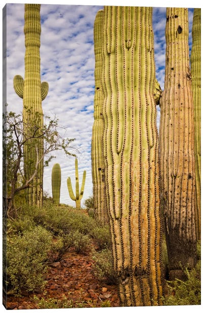 Cacti View IV Canvas Art Print