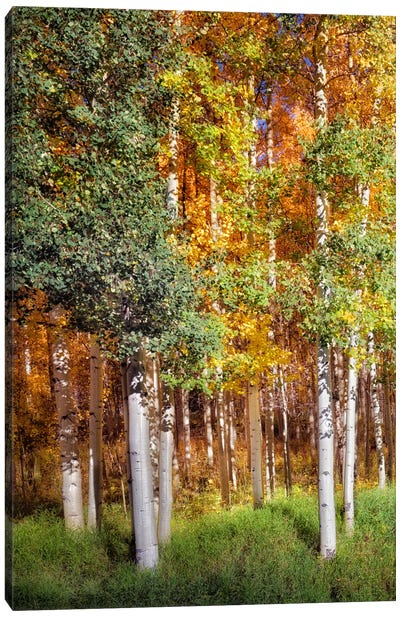 Aspen Glen I Canvas Art Print