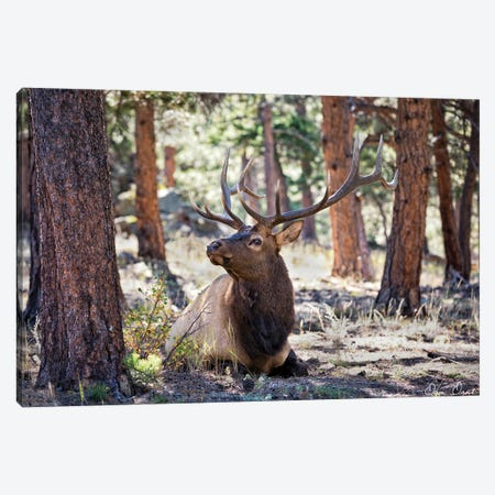 Elk Study I Canvas Print #DDR86} by David Drost Canvas Print