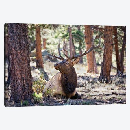 Elk Study I 3-Piece Canvas #DDR86} by David Drost Canvas Print