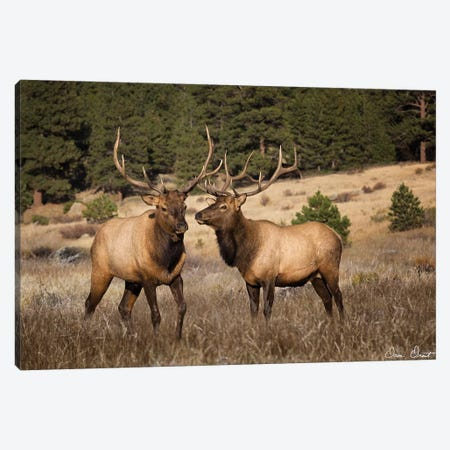 Elk Study IV Canvas Print #DDR87} by David Drost Canvas Print