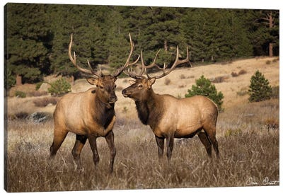 Elk Study IV Canvas Art Print